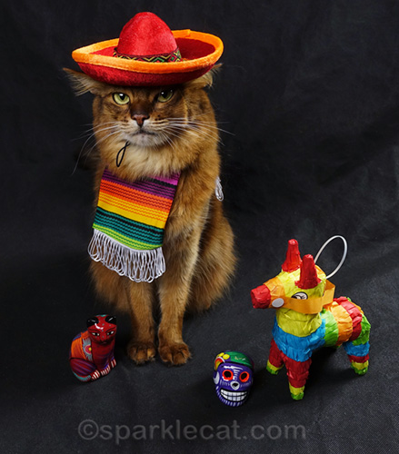 Somali cat dubious about wearing a cat-sized sombrero at all