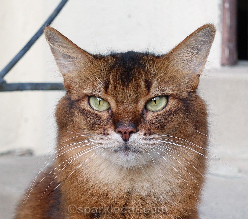 portrait of somali cat