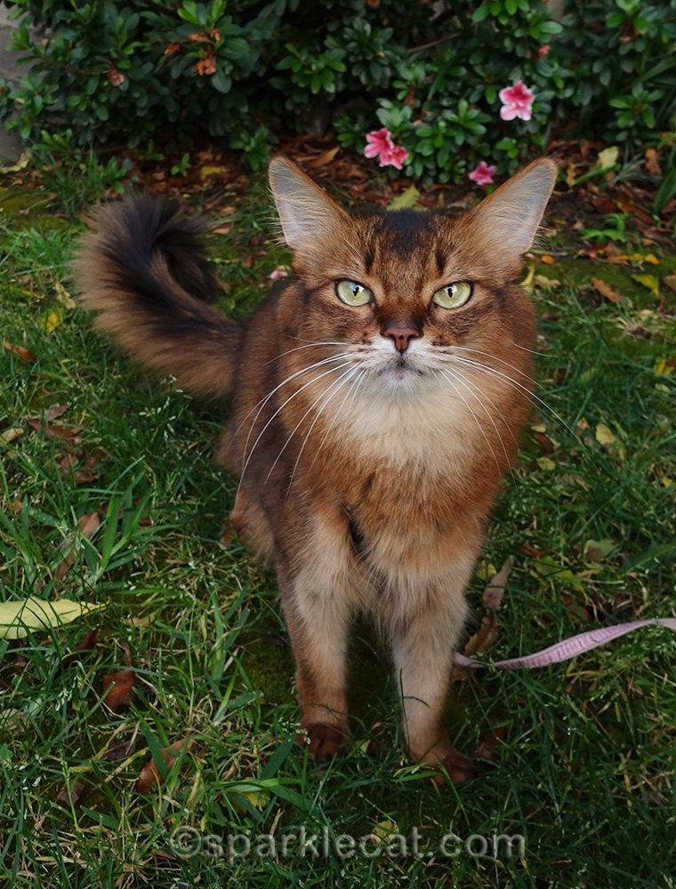 somali cat in corner of yard