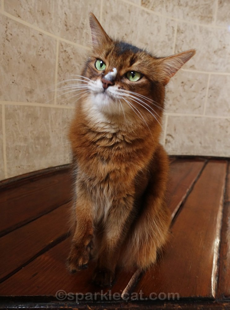 somali cat trying to look at cat treat puree on her nose