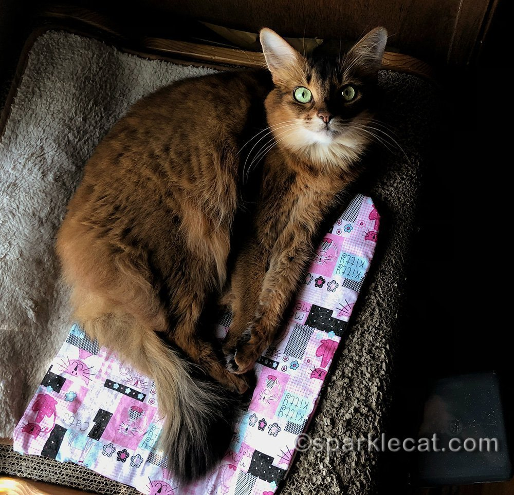 somali cat relaxing on her scratch lounger