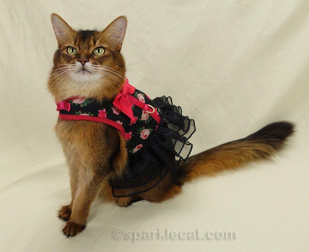 Somali cat wearing pretty harness