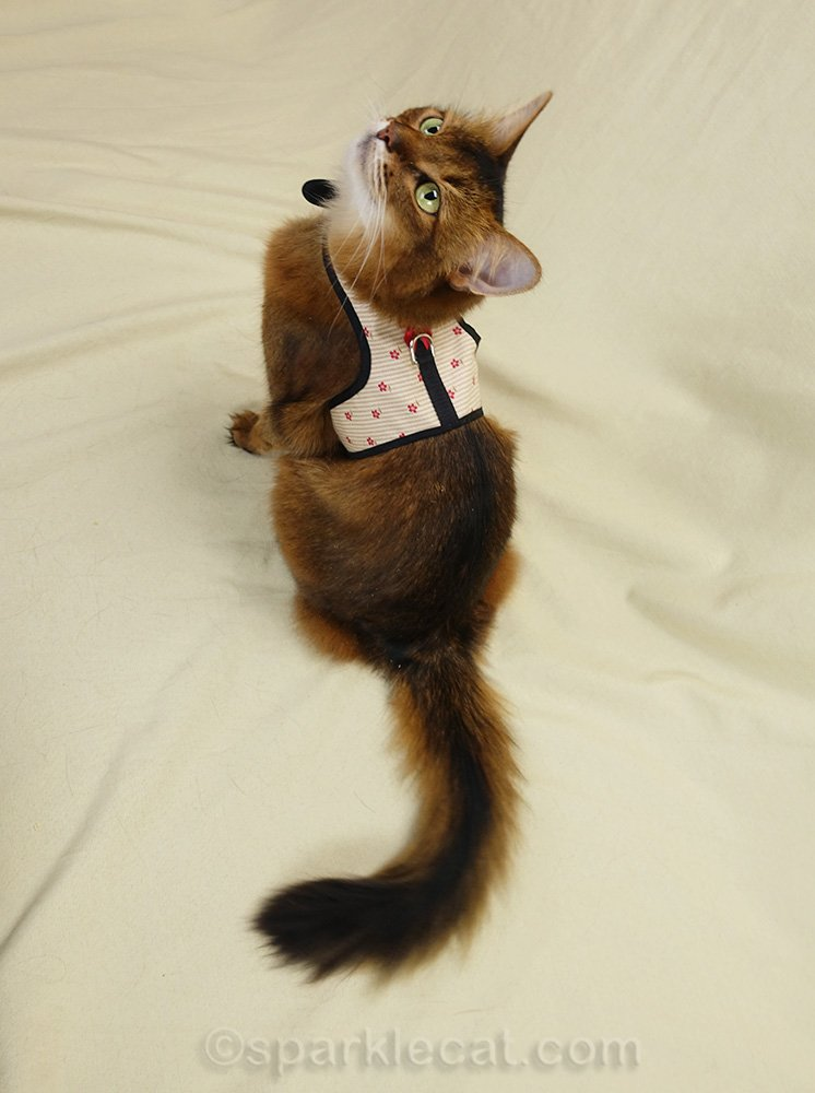 somali cat, modeling the back of cat harness