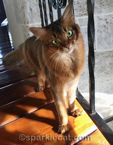 somali cat in turret