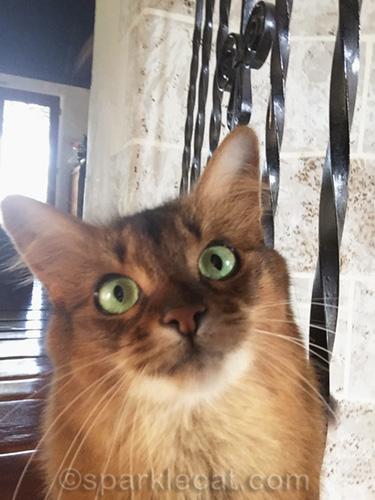 somali cat with unsuccessful selfie