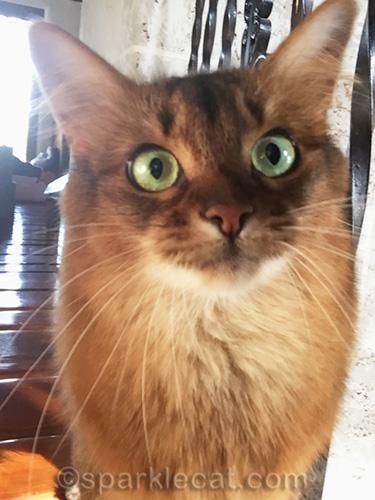 somali cat turret selfie