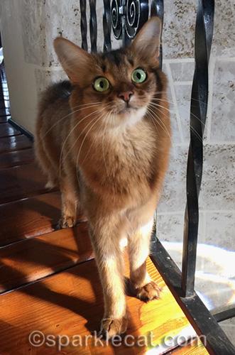 somali cat asking for iPhone to take turret selfie