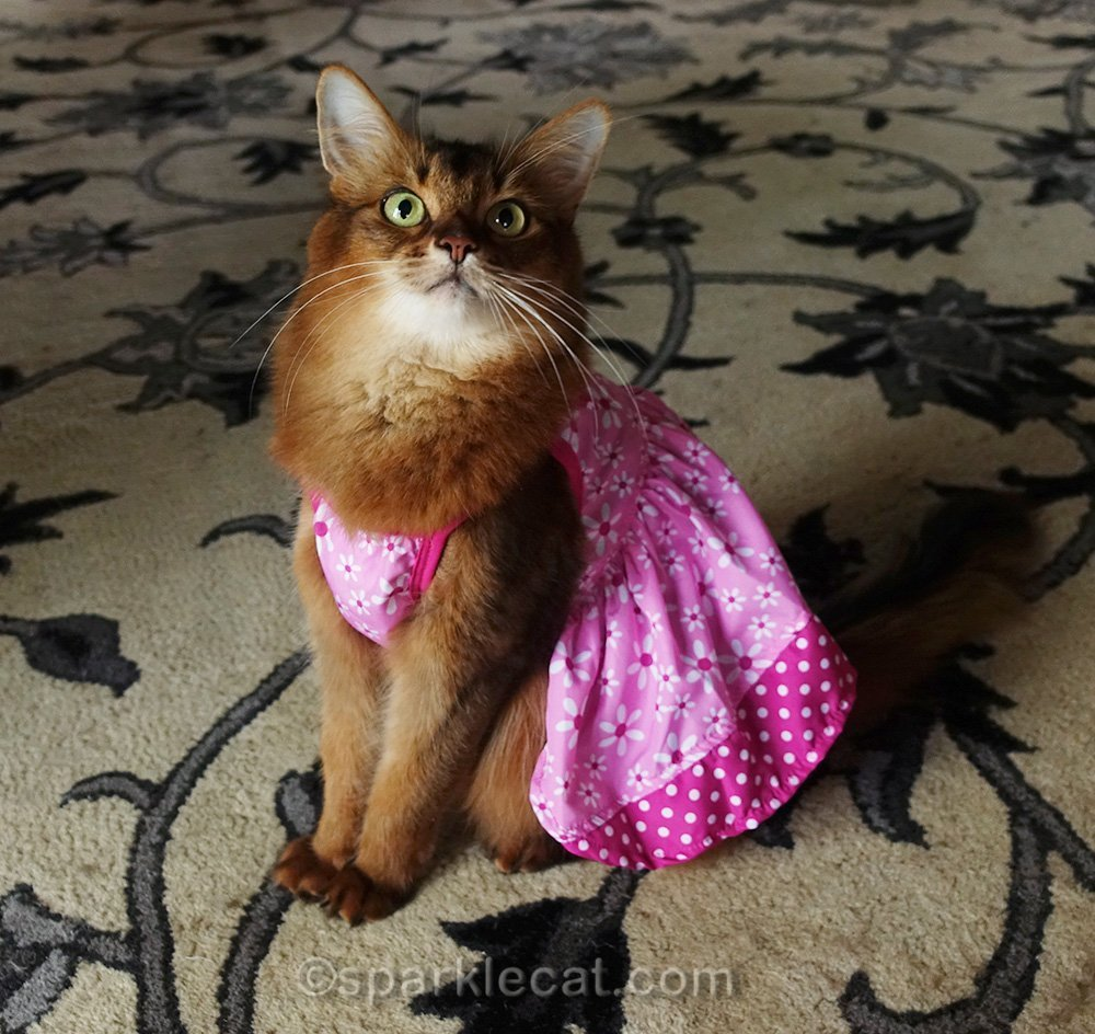 somali cat wearing cute little pink dress