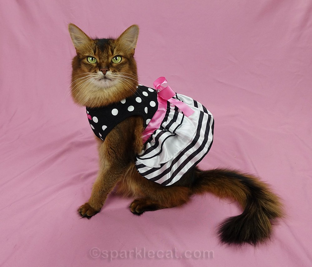 somali cat wearing pretty party dress from 2015