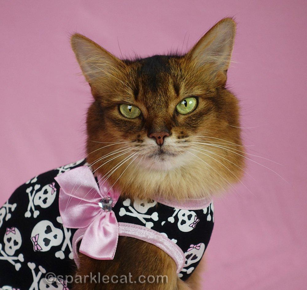 closeup of somali cat in skull dress