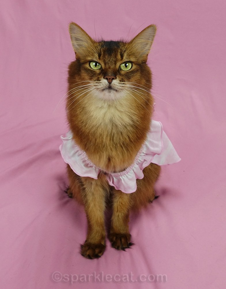 somali cat wearing a too-big pinafore dress