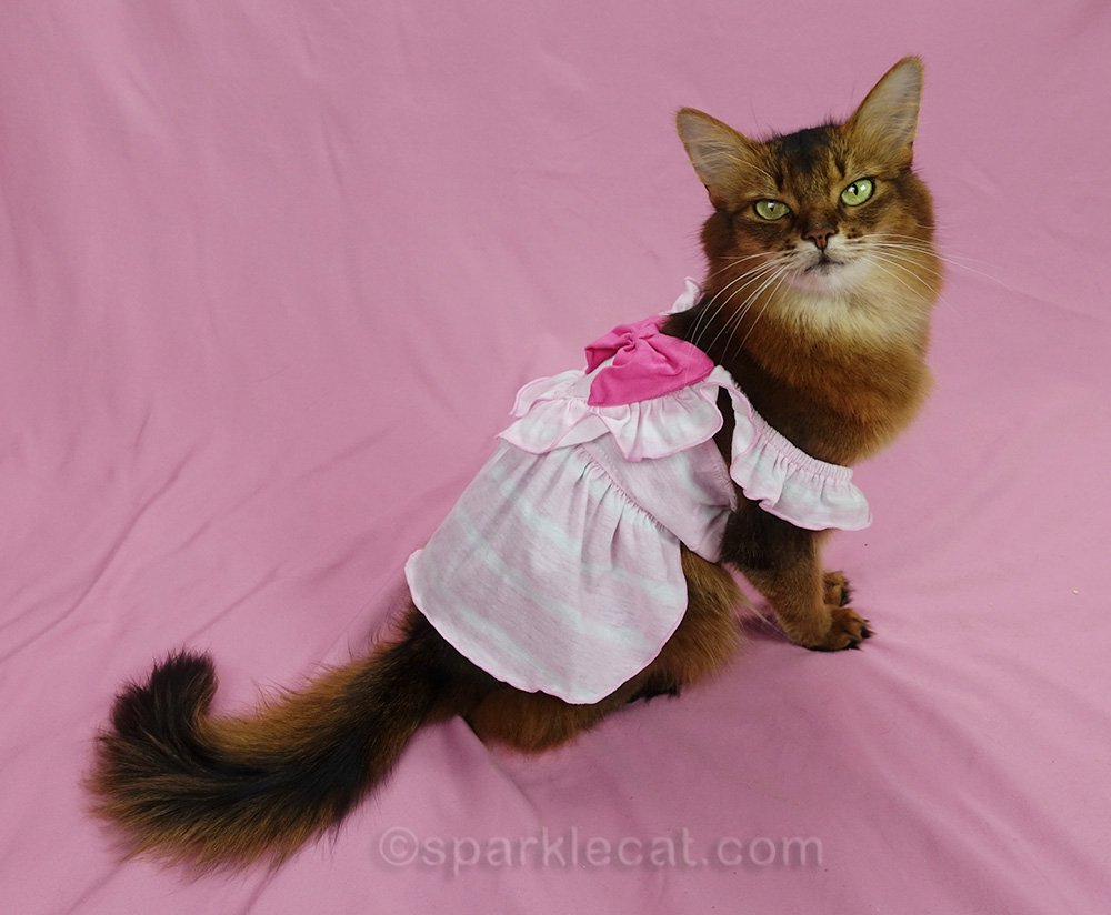 somali cat in oversized pinafore