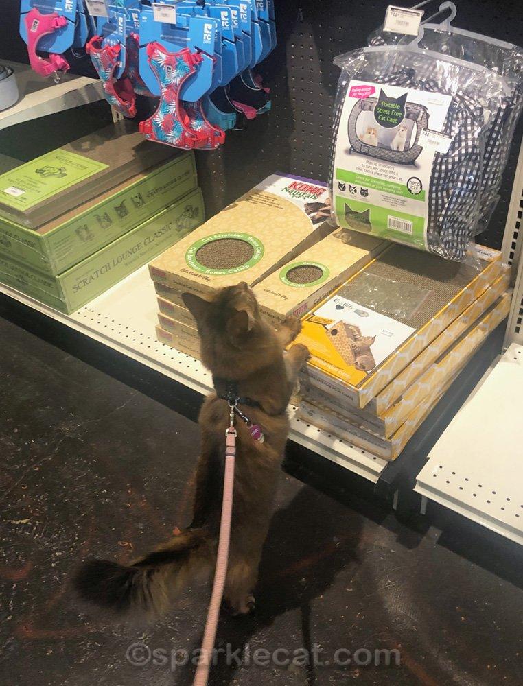 Somali cat looking at pet shop display
