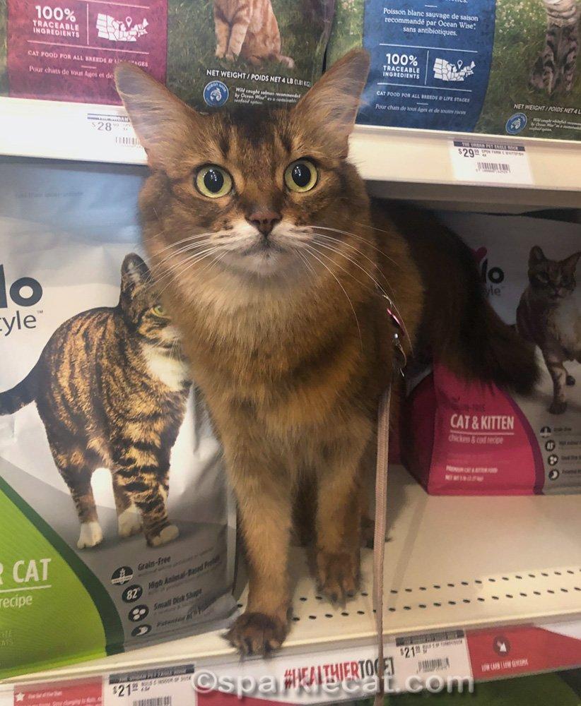 somali cat on cat food shelf at pet shop