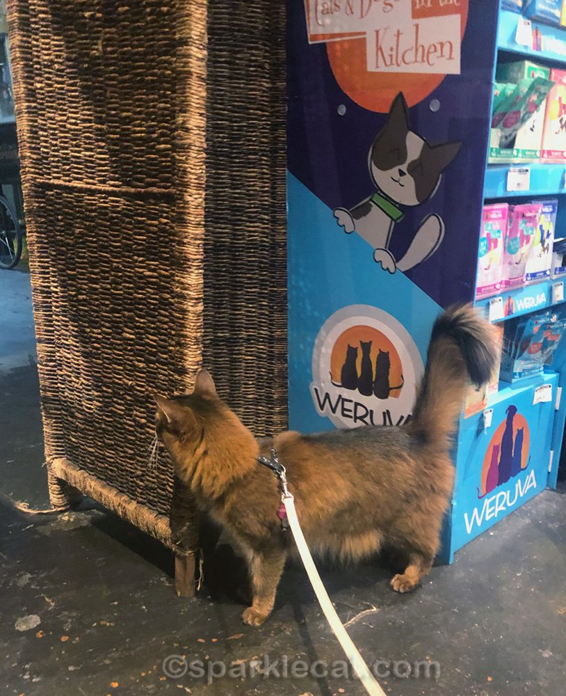 somali cat looking at employee only section of pet shop
