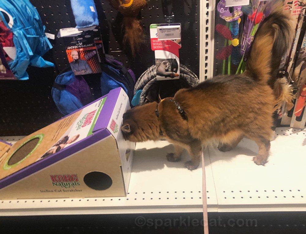 somali cat with head in a cardboard scratcher