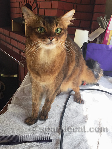 somali cat after bath and blow dry