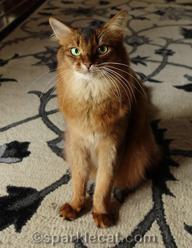 somali cat looking resentful