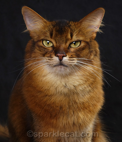 Somali cat explains how to control a tortie