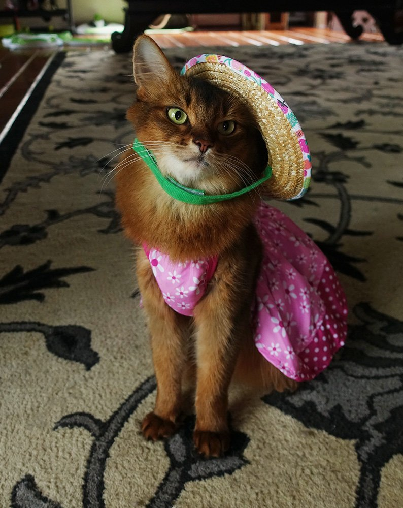 somali cat with straw hat precariously placed over one ear
