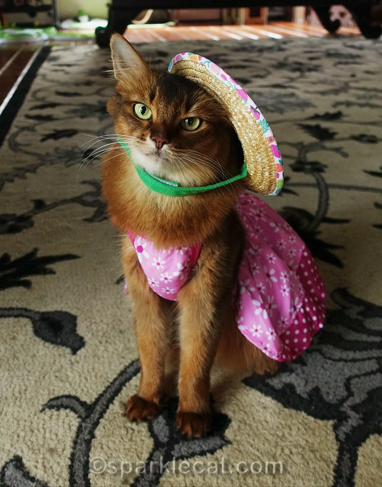 somali cat with straw hat falling off