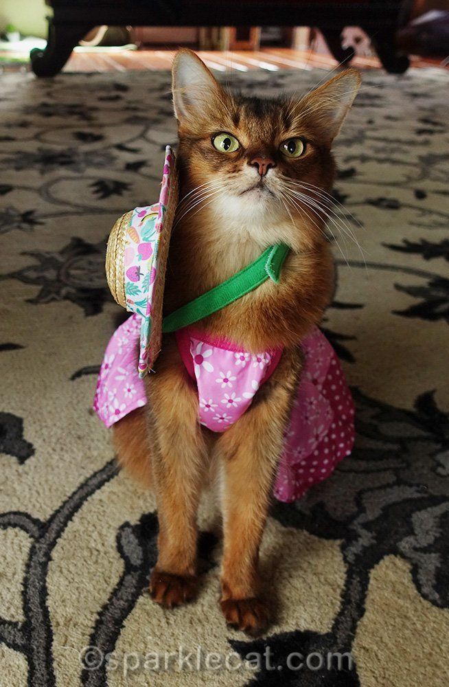 somali cat with straw cat hat falling off completely