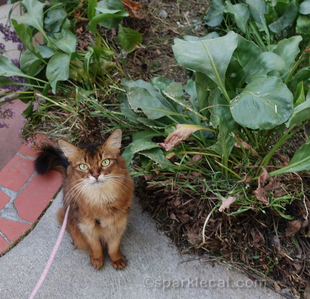 somali cat next to cleared out planter area