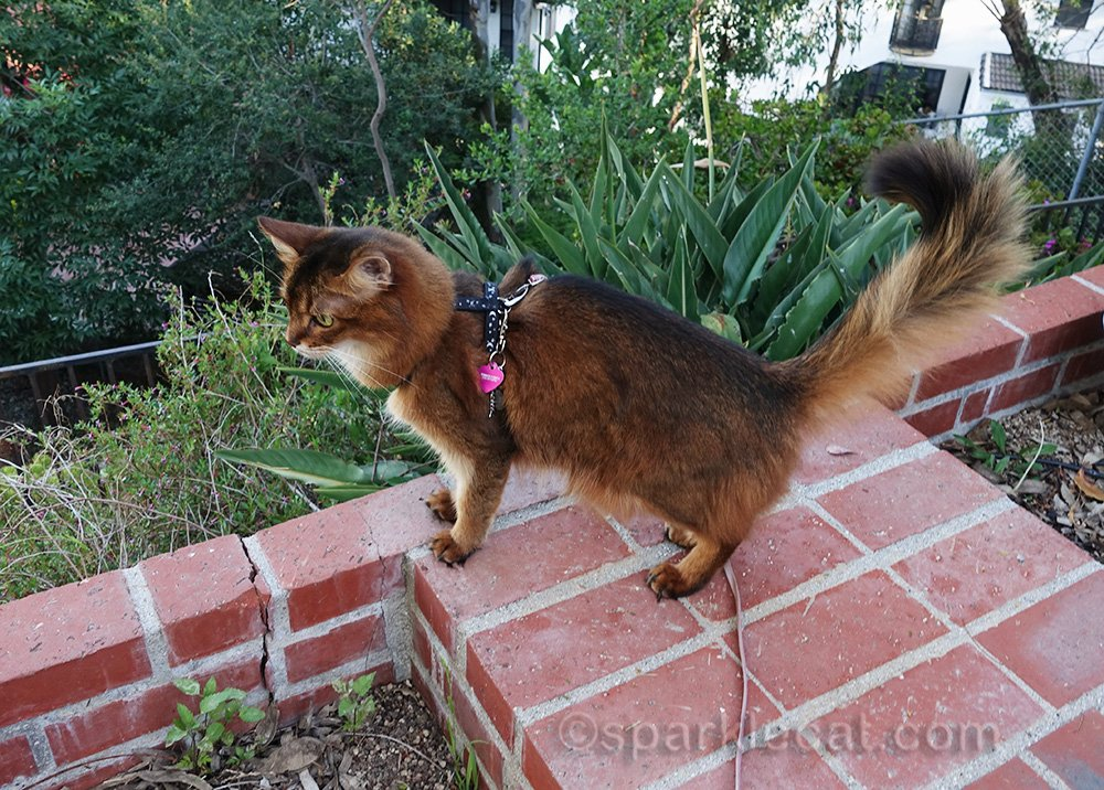 somali cat inspecting the pack part of the yard
