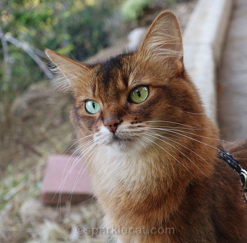 close up of somali cat in backyard