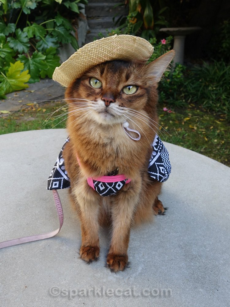somali cat wearing a straw hat with a black and white dress with pink trim