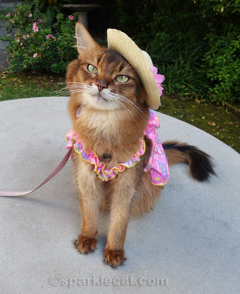somali cat in cute pink dress with the straw hat