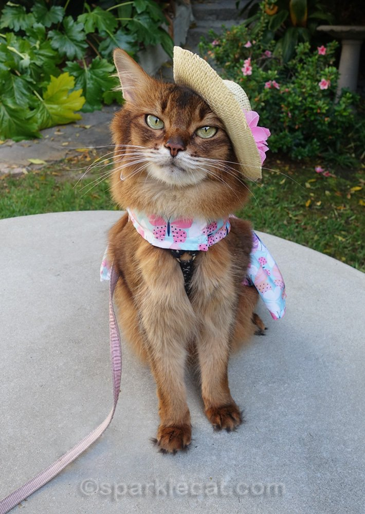 somali cat in spring dress and straw cat hat