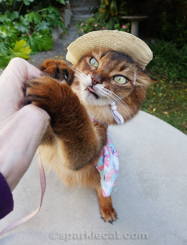 somali cat in dress and hat, going for her treat