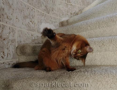 somali cat messing around on turret stairs