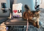 somali cat at boarding gate at LAX