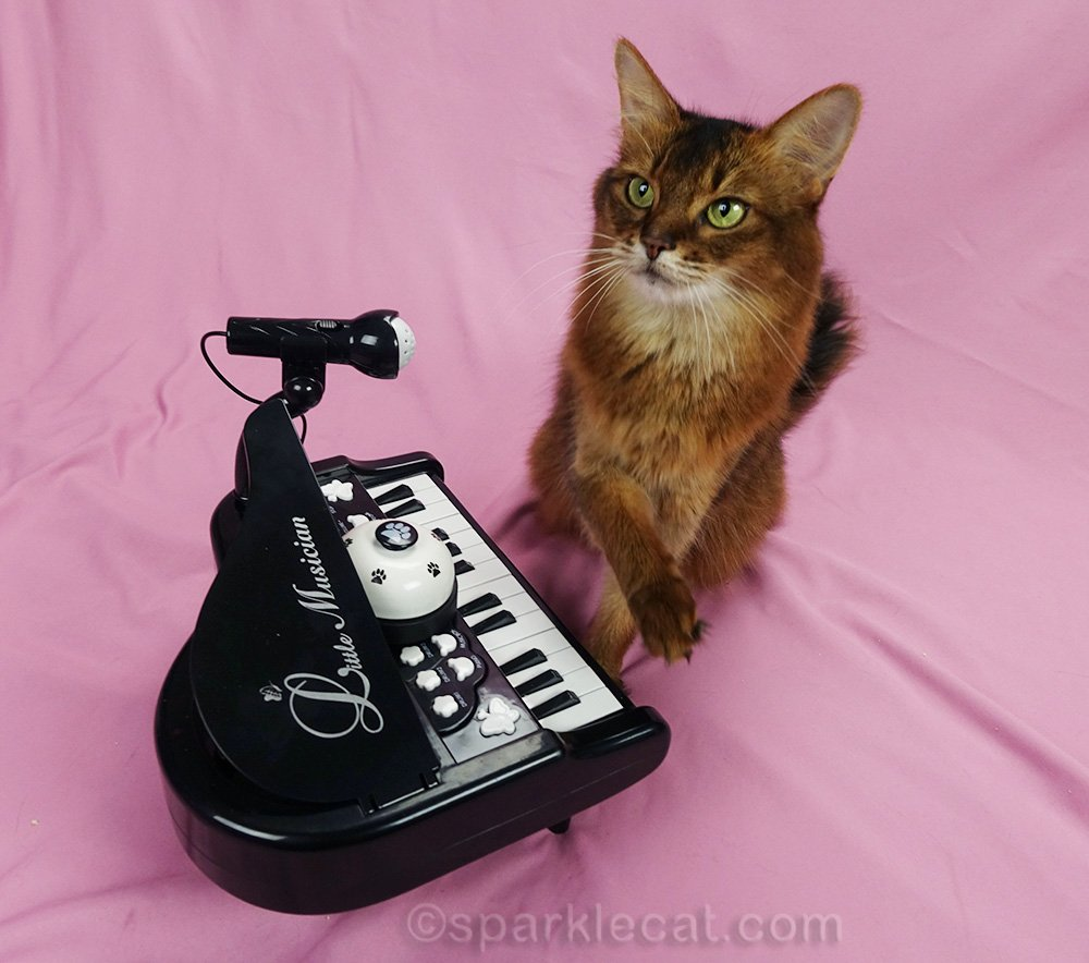 somali cat getting fancy with piano paw work