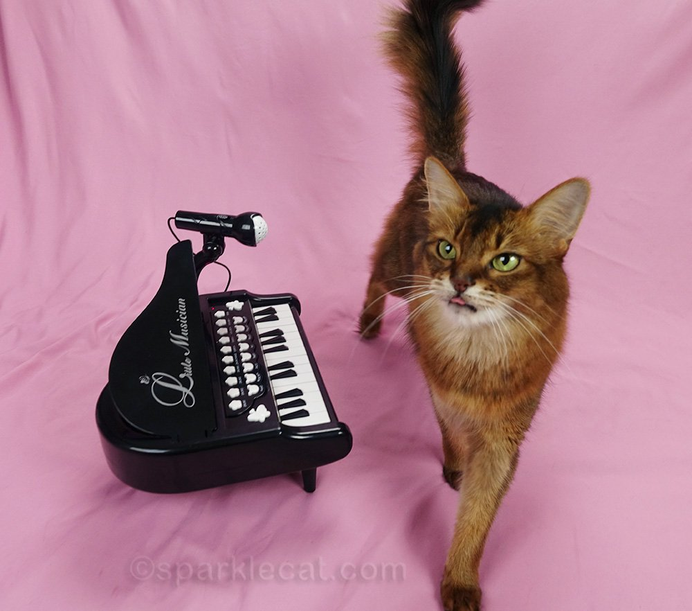 somali cat getting impatient with piano lessons