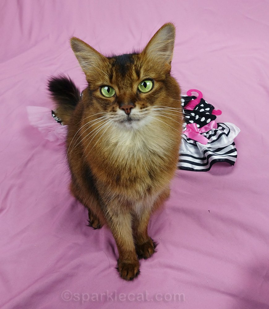 somali cat wanting treat during photo session