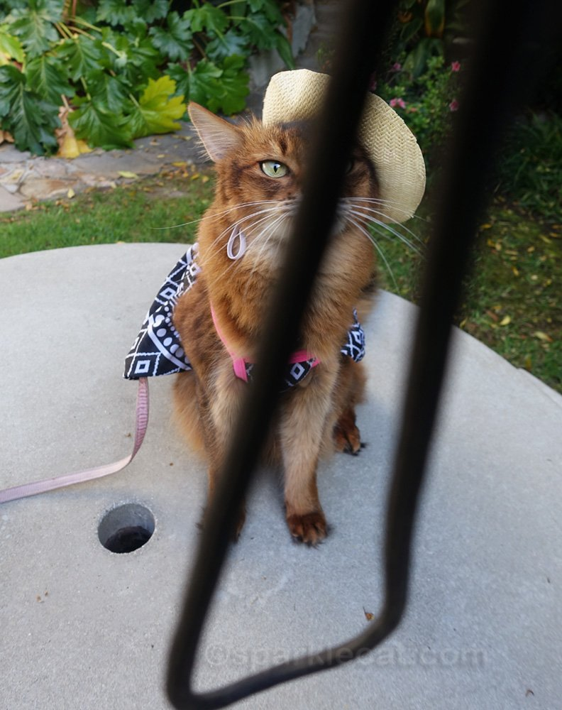 Somali cat photo with camera strap ruining it
