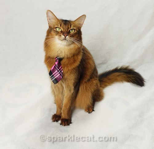 somali cat in tie posing for a modeling portfolio