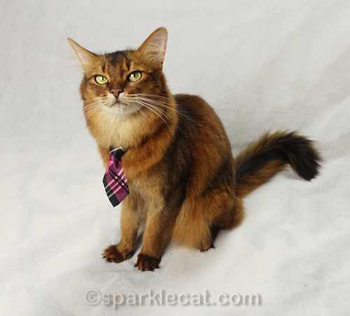 somali cat thinking up ways to liven up the photo session