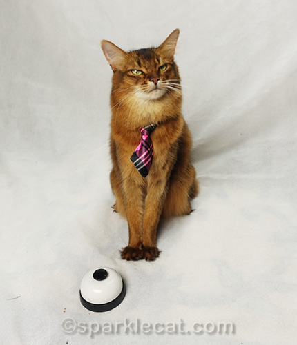 somali cat showing some attitude with desk bell in front of her