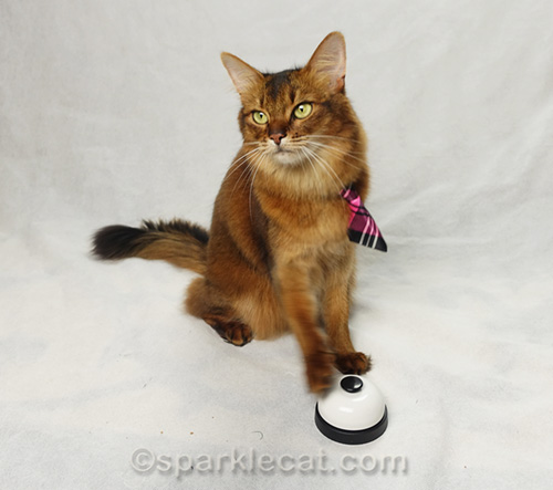 somali cat ringing a bell for modeling portfolio photo