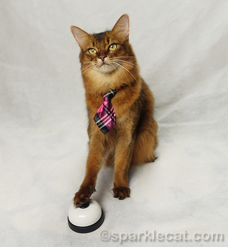somali cat posing for photo with paw on desk bell