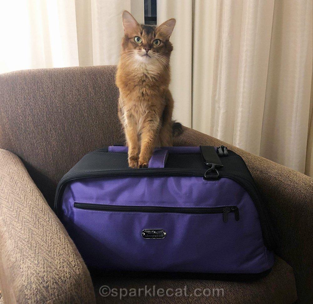 somali cat posing with sleepypod Air pet carrier