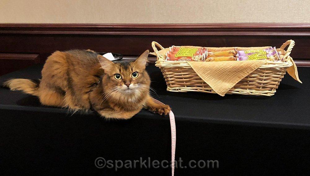 somali cat posing next to conference snacks