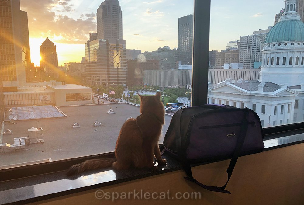 somali cat looking out of 7th floor hotel window at sunset
