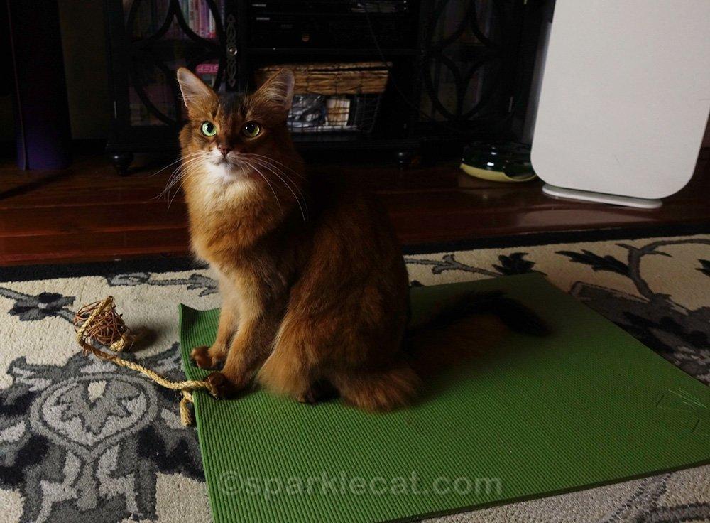 somali cat on cat sized yoga mat