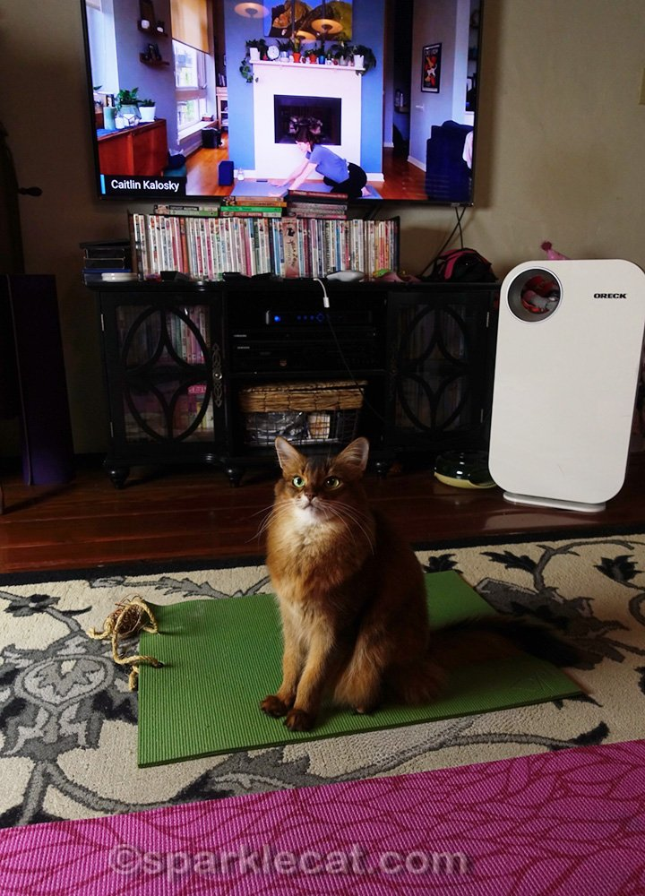 somali cat sitting on her yoga mat during online class
