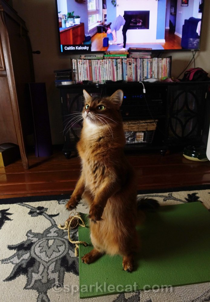somali cat losing track of vinyasa during yoga class